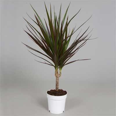 Комнатное  растение - цветы Драцена