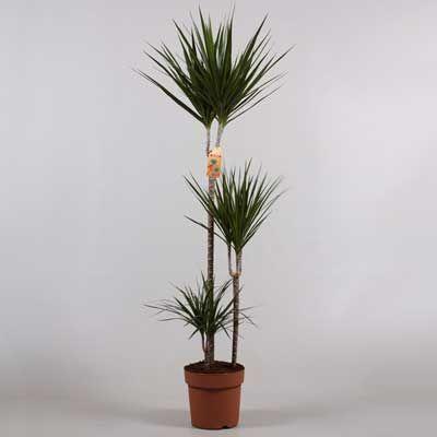 Комнатные растения - цветы Драцена три ствола