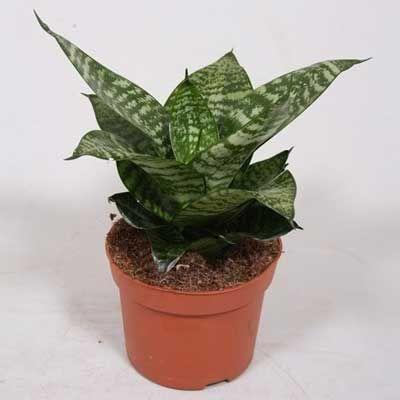 Комнатное растение - цветы Сансивьера