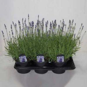 Комнатные растения - цветы Лаванда