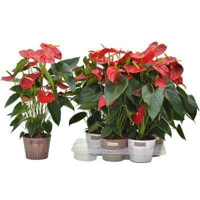 Комнатные растения - цветы Антуриум Андре Дакота